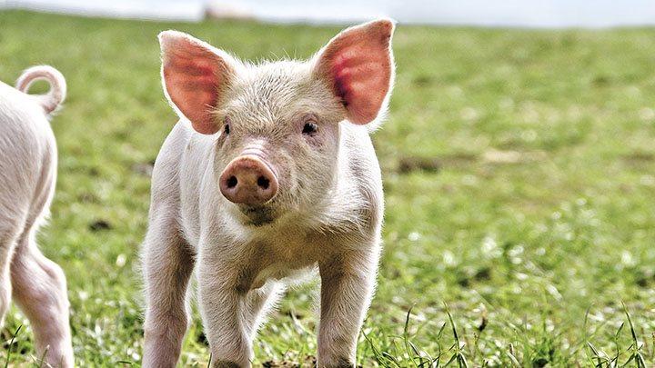 Økologi handler også om dyrevelfærd, lyder budskabet i en ny kampagne fra Økologisk Landsforening.