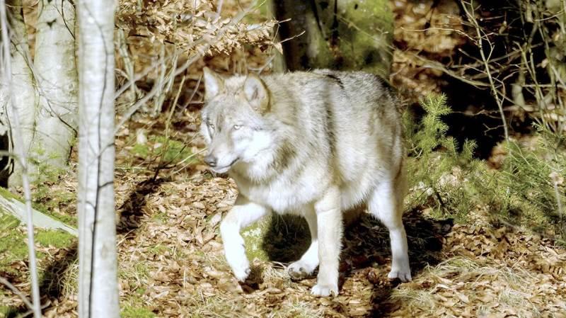Holdningen til ulvene er klar i den nye forening Ulvefrit Danmark, som dog også må forvente mod- stand i en følelsesladet debat.