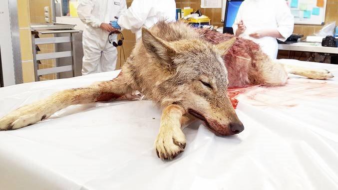 Hunulven, der blev skudt i Ulfborg den 16. april, er sendt til Tyskland, hvor der ved en DNA-test skal opklares, om der er tale om en ulv, og om det i givet fald er tale om moderen til det ynglepar, der har huseret i området. Foto: Miljøstyrelsen