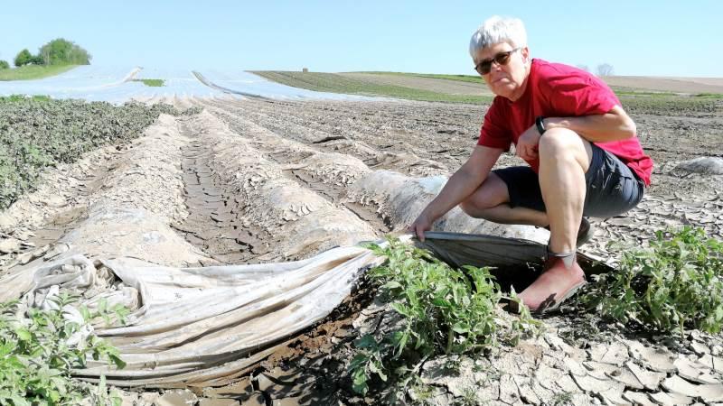 Det voldsomme uvejr slog kartoffelplanterne ned hos Rosilde Højgaard, og som Helle Jørgensen her viser overdyngede fiberdugen med et tykt jordlag for enden af rækkerne.