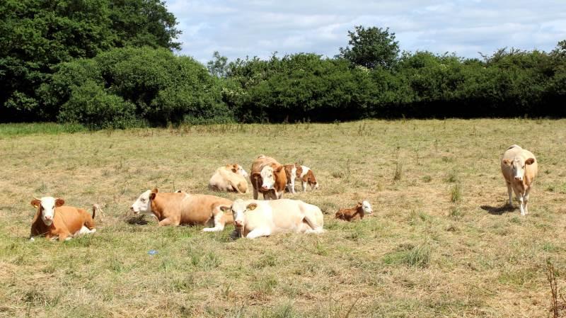 På søndag inviterer fynske kødkvægavlere til »Kødkvægets Dag« fra klokken 10-16. Arkivfoto