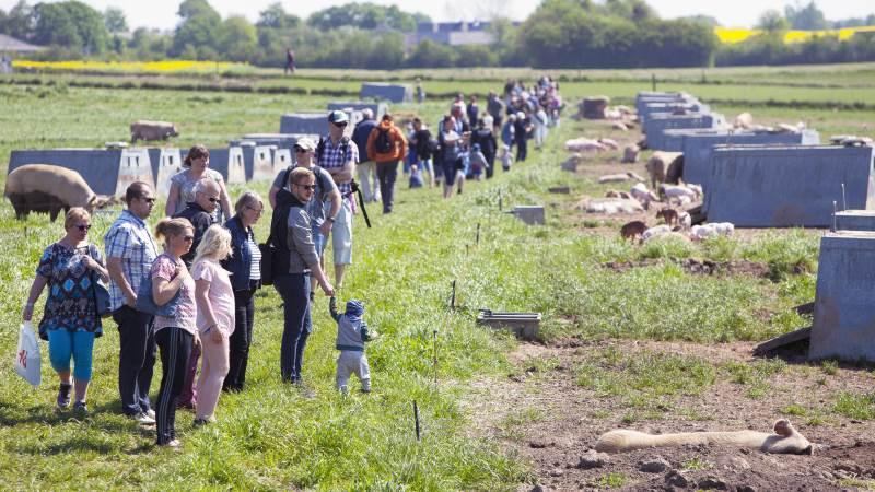 Sidste år benyttede godt 12.000 danskere muligheden for at få indblik i den økologiske svineproduktion ved at tage på Sofari. Sofari holdes hvert år den sidste søndag i maj.