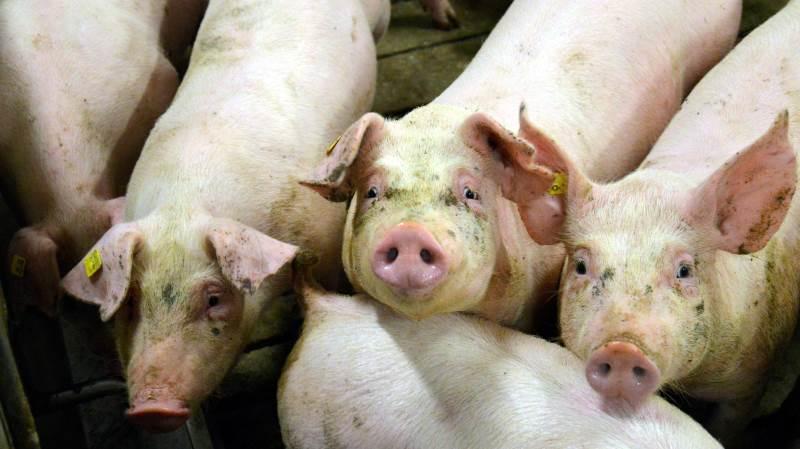 I en spørgeundersøgelse svarede over 50 procent, at de tror, der kommer færre slagtninger i Danmark, men fuldstændig de samme mennesker, ønsker flere slagtninger i Danmark. Fotos: Camilla Bønløkke