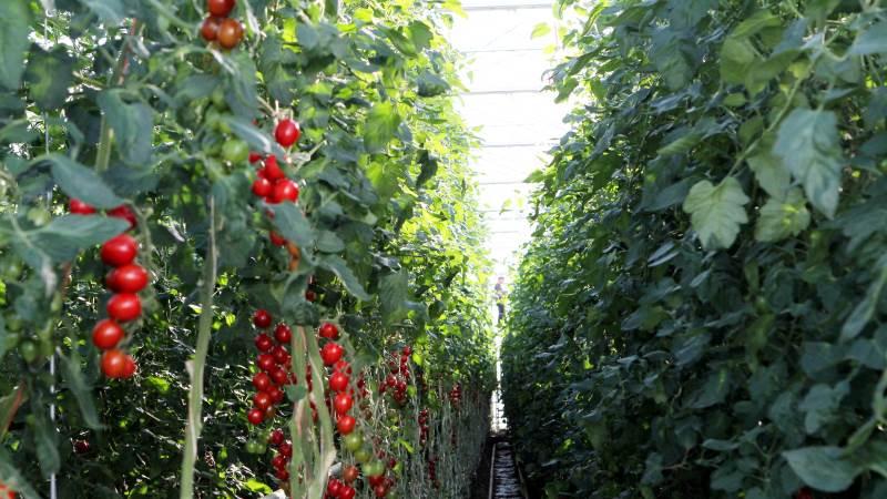 Der kan blive længere mellem gartnerierne, hvis der ikke findes en kompensationsordning som afløser for den nuværende, mener Mads Pedersen. Arkivfoto: Lasse Ege Pedersen.