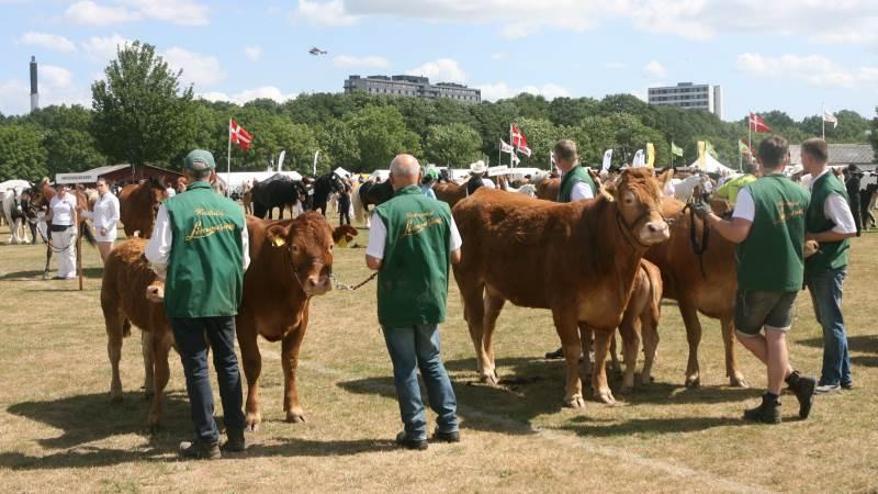 Sådan blev kødkvæget bedømt fredag på dyrskuet i Odense.