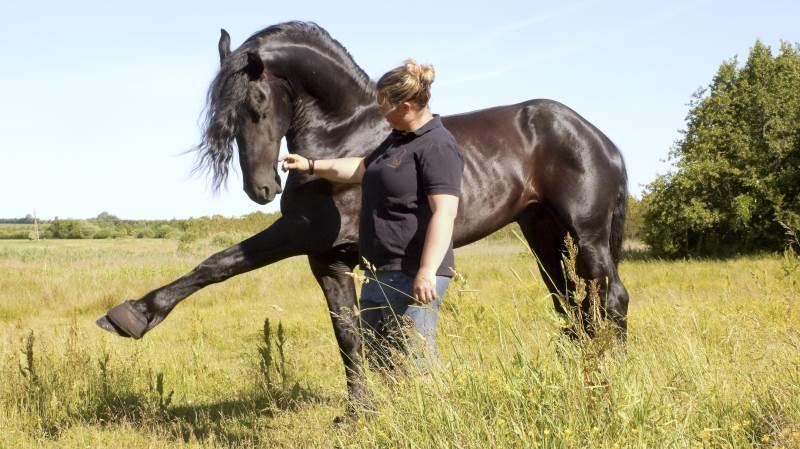 Line Gautesen er formand for foreningen Frieser Nord. Til deres show skal hun ride på hingsten Thor Fan Færch, som er ny på showholdet.