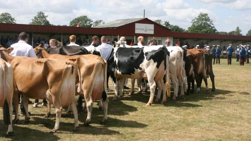Sådan blev malkekvæget bedømt fredag på skuet i Odense.