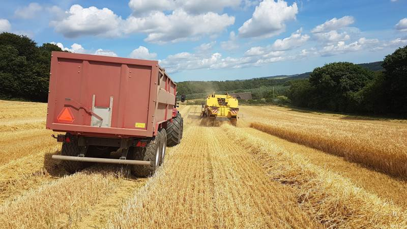 Normalt hentes 9-9,5 tons pr. hektar i vinterbyggen på den østjyske ejendom. Dog noget mindre på den sydskråning, der blev høstet søndag.