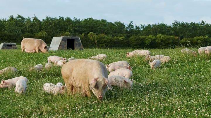 - Vi søger flere grise om ugen til den efterspørgsel, vi ser i markedet lige nu, lyder det fra Henrik Biilmann, der er CEO i Friland.