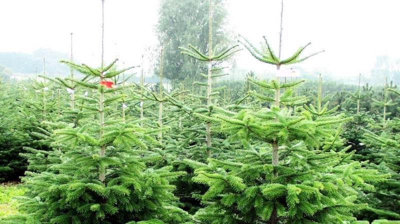 Danske juletræsproducenter er under pres fra tørken. Arkivfoto