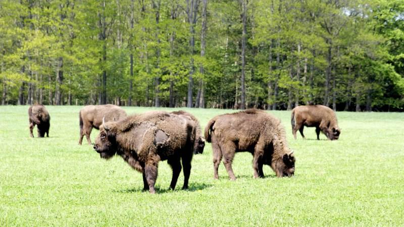 Bornholm er stedet, hvis man vil opleve vilde bisoner. Arkivfoto