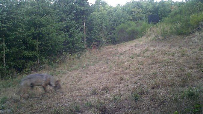 Her ses ulven, der er spottet i Djursland. Foto: Lars Kejser, Miljøstyrelsen.