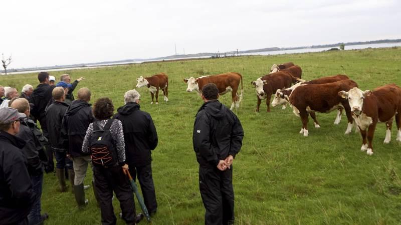 Medlemmer af Fyns Kødkvæg var forleden på udflugt til Vigelsø midt i Odense Fjord, hvor to unge agronomstuderende har aftale med Naturstyrelsen om afgræsning af 30 hektar strandeng.