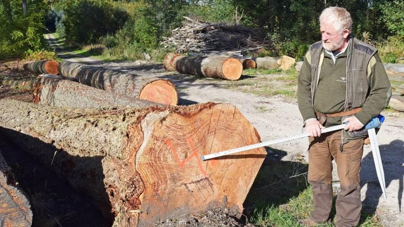 - Desværre er skoven også påvirket af tørken, ikke mindst nye og helt op til en halv snes år gamle træer, siger Peder Dammand, Skovdyrkerforeningen Øerne, der blandt andet har set et areal med otte-niårige ege, der er gået ud på grund af tørken. Det har jeg aldrig oplevet før, lyder det fra den erfarne skovmand, som her ses ved 80-90 år gamle stammer af ekstra store douglasgran, der eksporteres som specialtræ for eksempel til Tyskland.   Foto: Anders Kurt Simonsen
