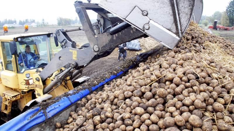 Nogle avlere vil, vurderes det hos kartoffelmelsfabrikken AKV i Langholt, få underskud på driften. Men gennemsnitligt vil de kunne holde skindet på næsen. Arkivfoto