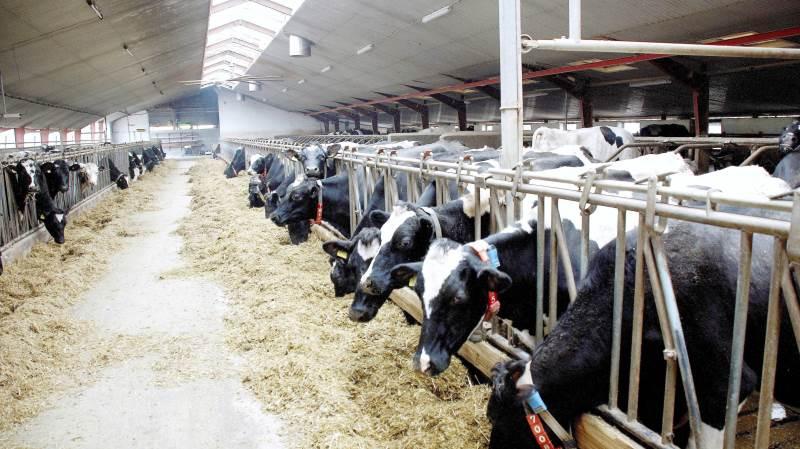 Rådgivningsvirksomheden Vestjysk stiller skarpt på kvægbruget, når der den 13. november inviteres til Kvægpolitisk Dialogmøde i Ringkøbing. Arkivfoto