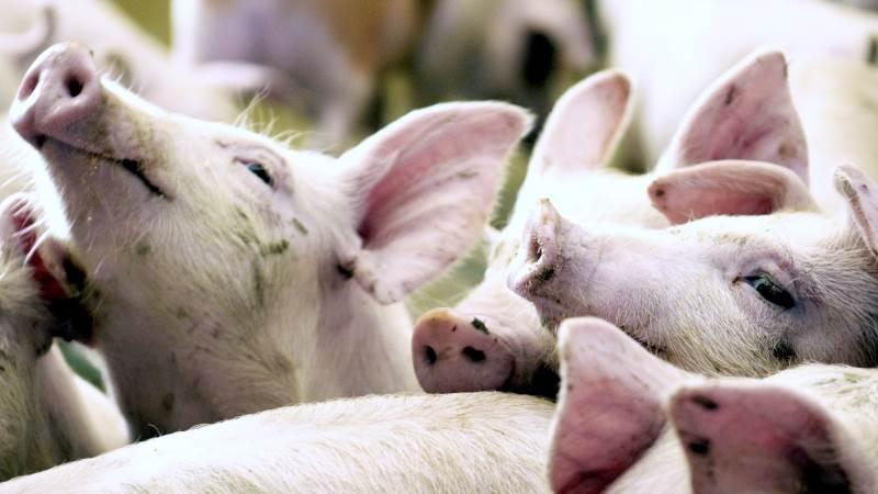Samtlige svineproducenter i Midt- og Østjylland inviteres nu til informationsmøde om afrikansk svinepest.