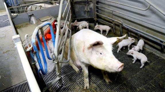 Målet i Handlingsplan for bedre dyrevelfærd for svin er, at 10 procent af diegivende søer skal gå i løsdrift i farestalden i 2020. Foto: Camilla Bønløkke