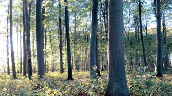 Elge lever typisk af grene fra høje træer. Der er altså ringe risiko for, at elgen i Gribskov vil gøre indhug i markerne i området.