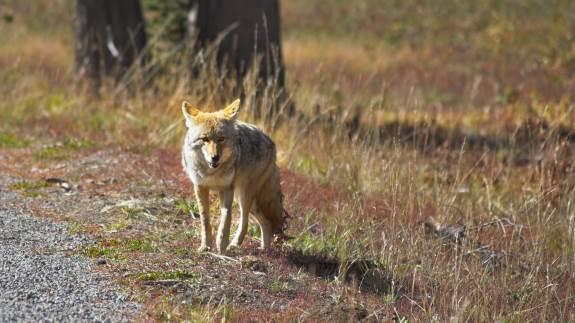 Hvis en gentagne gange ulv bliver set indenfor 50 meter af mennesker, eller flere gange forcerer ulvesikret hegn, kan den skydes, står der i den nye forvaltningsplan for ulv. Foto: Colourbox.