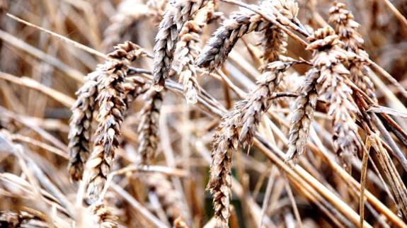 Hvedehøsten falder markant i år – og det afspejles i hvedepriserne. Arkivfoto