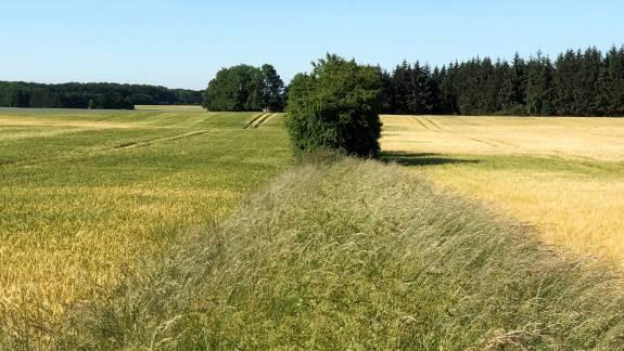 Et eksempel fra Djursland, som viser hybridsorten Bazooka til venstre og en toradet sort til højre på samme jordtype (JB 3-5) og fra samme bedrift. Hybriden er sået den 5. september med 130 planter/m2 og den toradede sort er sået 16. september med 270 planter/m2. Et stærkere rodnet og den ekstra vitalitet overfor stress giver forskellen. Der blev høstet et merudbytte på 1,0 tons pr. hektar i marken til venstre. Foto: Syngenta