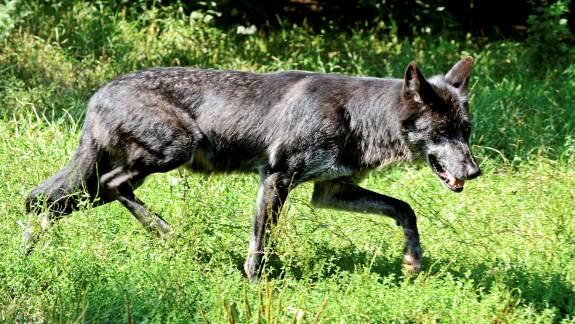 Fire af de otte ulveunger fra Stråsø-kobblet er nu udvandret til Tyskland. En af de otte har mistet livet ved et trafikuheld. Arkivfoto.
