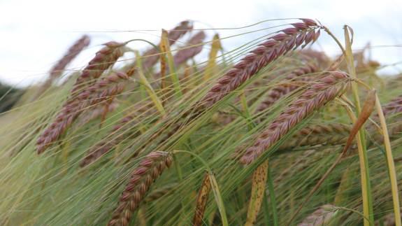 Der er stor fokus på at gøre afgrøder mere robuste, og at kunne øge udbyttet i forældlingen af fx byg og hvede. Nu får et nyt projekt en økonomisk saltvandsindsprøjtning på 30 millioner fra Innovationsfonden.
