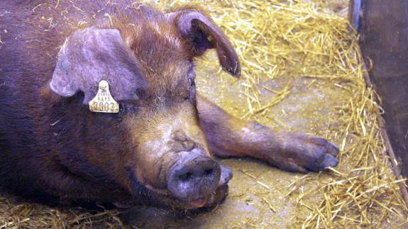 Ornestation Mors – Danmarks førende privatejede ornestation og PIC verdens største selskab indenfor svinegenetik, kan nu offentliggøre, at de har indgået en aftale omkring distribution af PIC svinegenetik i Danmark.