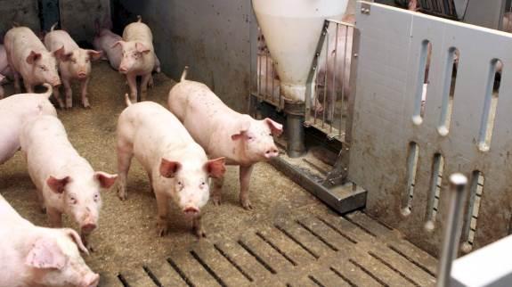 Seges Svineproduktion har testet to typer af tørfoderautomater til slagtesvin – de simple foderkasser og rørfoderautomater. Målet var at undersøge, hvilken betydning valget af automat har for foderudnyttelse, kødprocent og tilvækst. Arkivfoto.