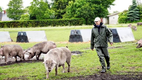 Arbejdstilsynet har netop lavet en gennemgang af ulykkerne med svin i 2016 og 2017, og den viser et klart mønster: De farlige situationer opstår ofte, når svin skal drives fra et sted til et andet, samt når de skal behandles. Arkivfoto: Camilla Bønløkke